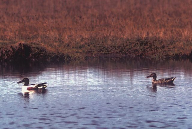 Northern Shoveler Pair Picture
