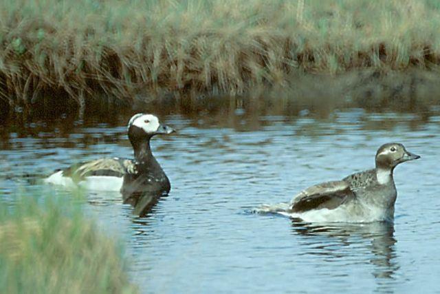 Long-tailed Duck Male and Female Picture