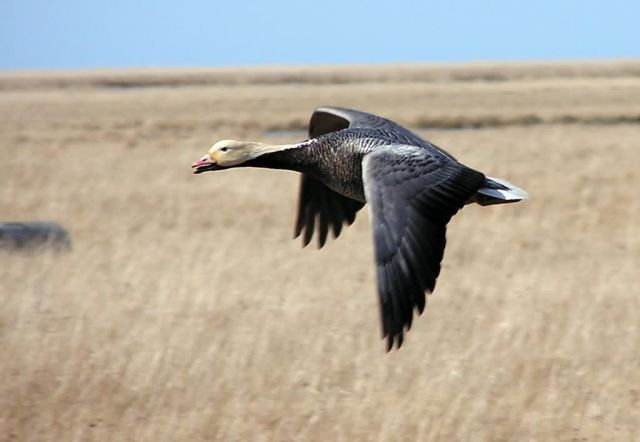 Emperor Goose in Flight Picture