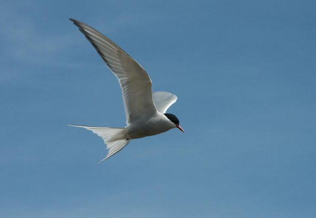 Arctic Tern in Flight Overhead Picture