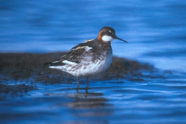 Red-necked Phalarope Picture
