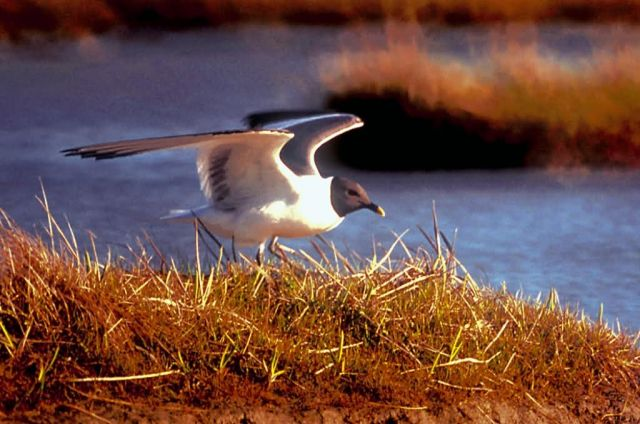 Sabine's Gull Picture