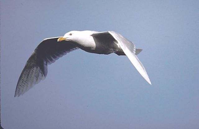 Glaucous Gull in Flight Picture
