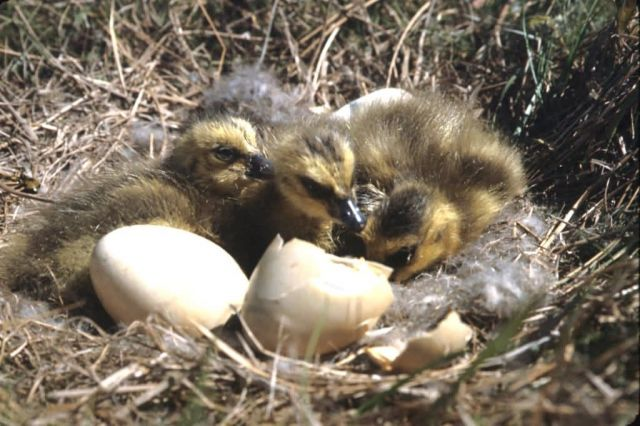 Cackling Canada Goose Hatchlings in Nest Picture