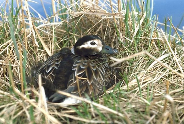 Long-tailed Duck Female on Nest Picture