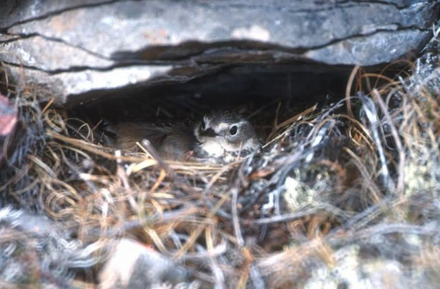 American Pipit on Nest Picture