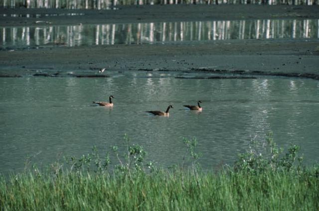Dusky Canada Goose Trio Picture