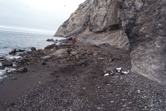 Cape Lisburne, pile of murres and kittiwakes killed by landslide Picture