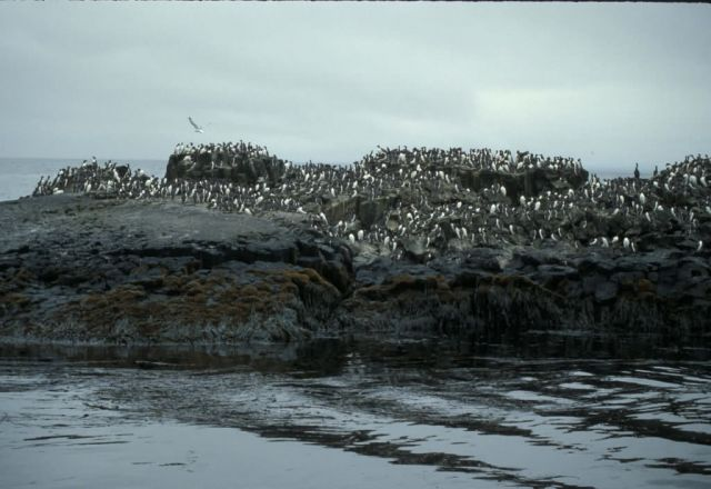 Walrus Island, Murre Rock, Pribilofs Picture