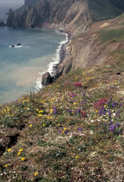 Hall Island wildflowers, Bering Sea Picture