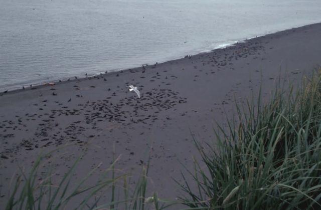 Bogoslof Island, Northern Fur Seals Picture