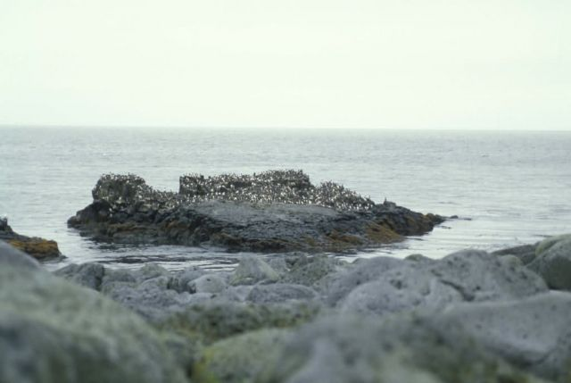 Walrus Island, Murre Rock in the Bering Sea Picture