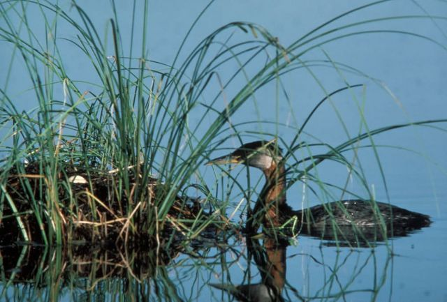 Red-necked Grebe and Nest Picture