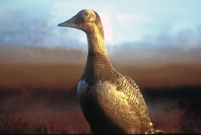 Spectacled Eider Female Picture