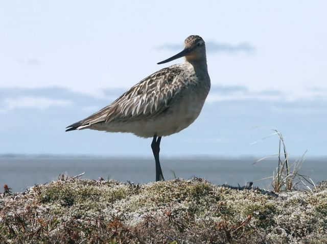 Bar-tailed Godwit Picture