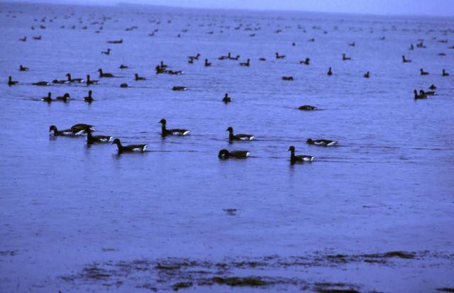 Brant in Izembek Lagoon Picture