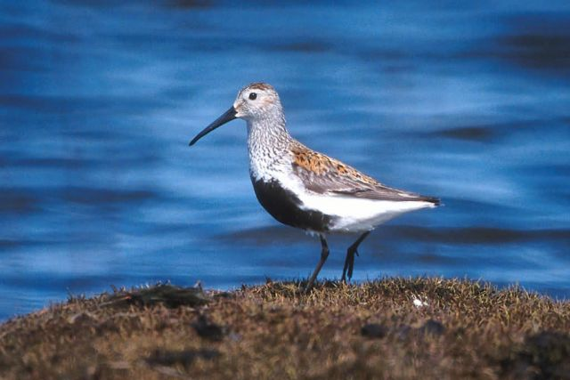 Dunlin Picture