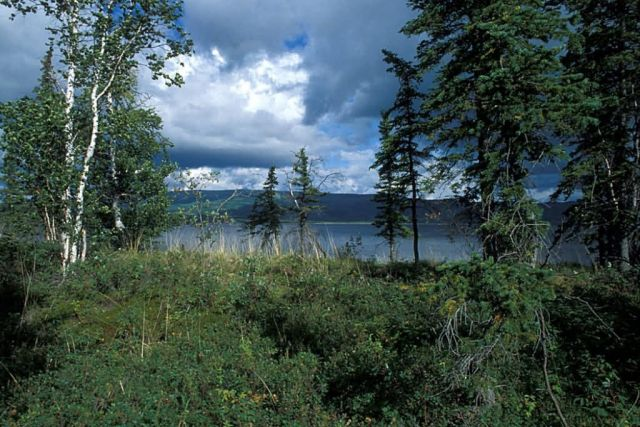 Birch and Spruce Forest at Shoreline Picture