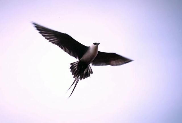 Long-tailed Jaeger in Flight Overhead Picture