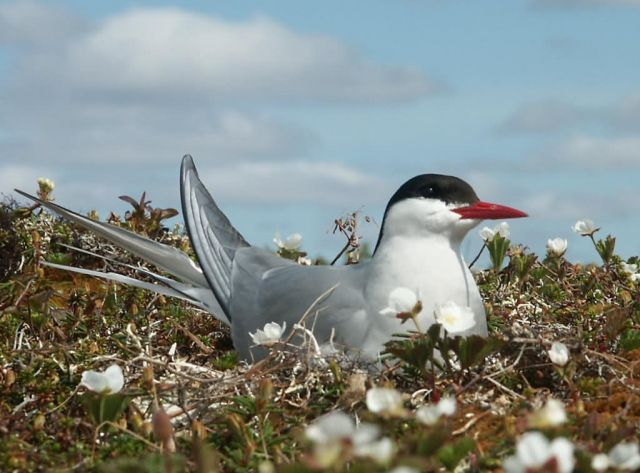 Arctic Tern Picture