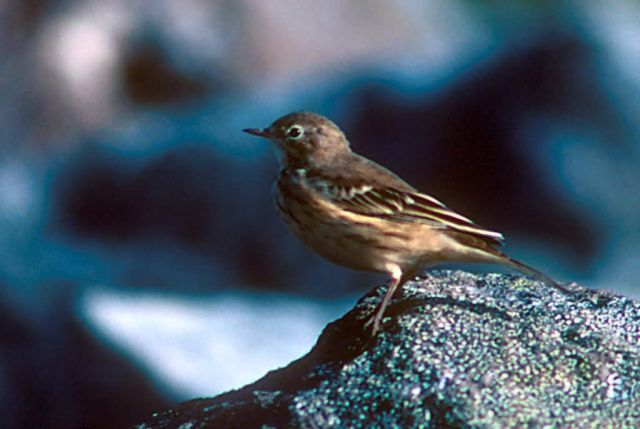 American Pipit Picture