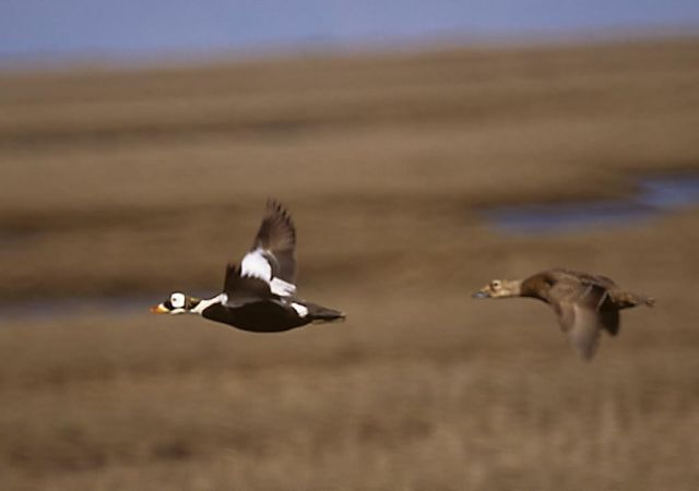 Spectacled Eider Pair in Flight Picture