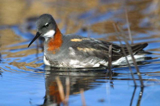 1002 Area: Red-necked Phalarope female Picture