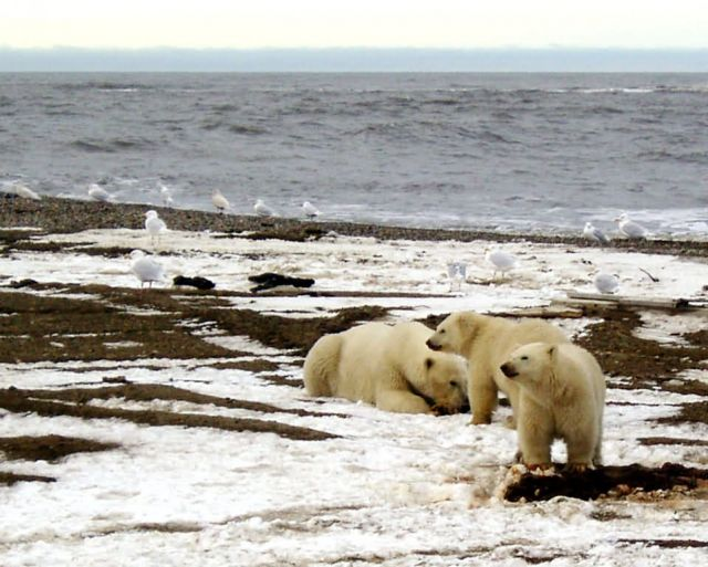 1002 Area: Polar Bear sow and two cubs on the Beaufort Sea coast Picture