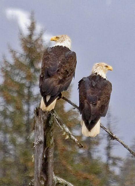 Bald Eagle Pair Picture