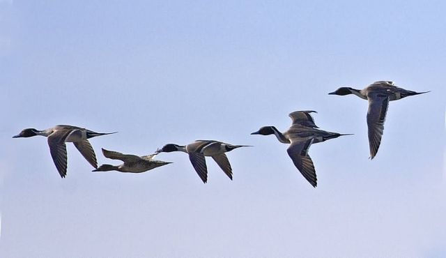 Norther Pintails in Flight Picture