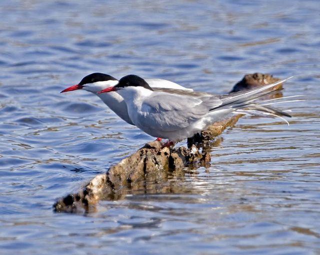 Arctic Terns Picture