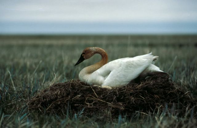 Tundra Swan on Nest Picture