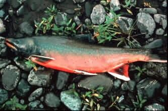 Dolly Varden Picture