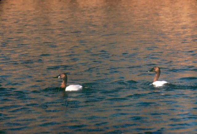 Canvasback Duck Picture