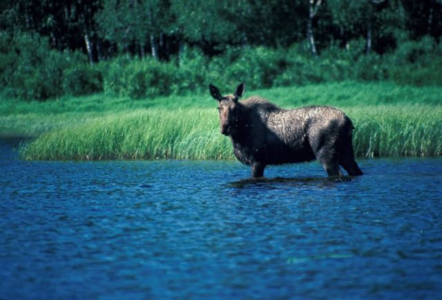 Moose Standing in Camp Lake Picture
