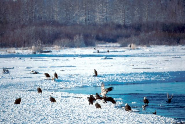Bald Eagles Feeding at Haines Picture