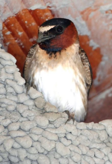 Cliff Swallow Picture