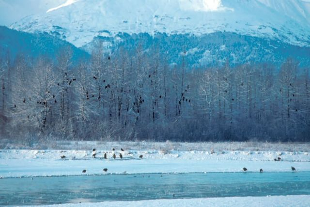 Bald Eagles at Haines Picture