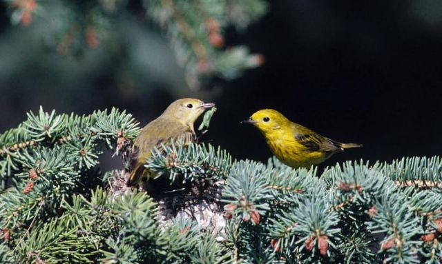 Nesting yellow warblers Picture