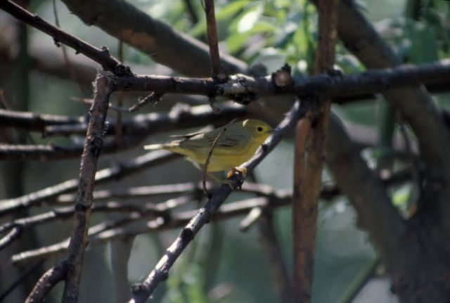 Warbler on Branch Picture