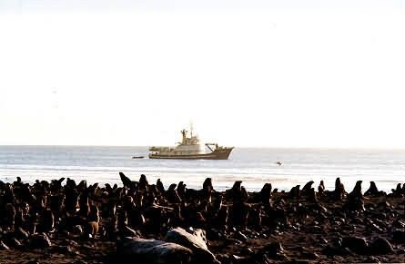 Northern Fur Seals and the M/V Tiglax Picture