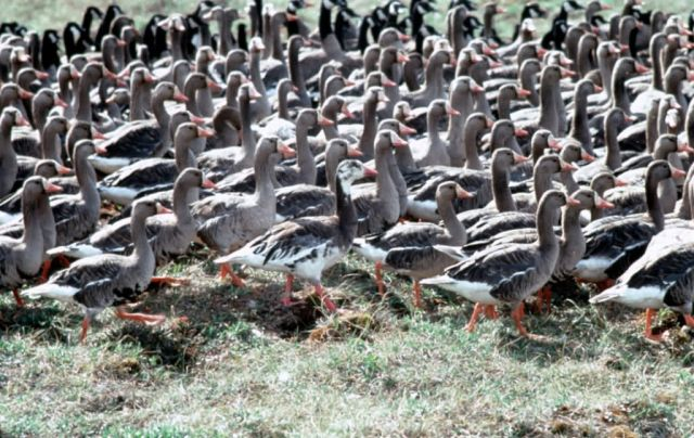 Flightless White-fronted Geese in Pen Picture