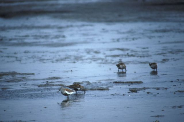 Dunlins at Shoreline Picture