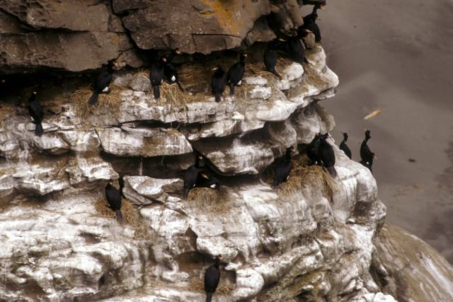 Red-faced Cormorants Nesting Picture