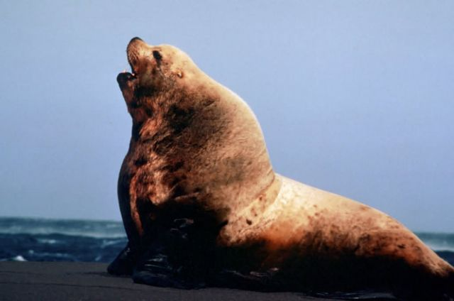 Sea Lion Bull Picture