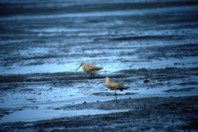Marbled Godwits at Cinder River Lagoon Picture
