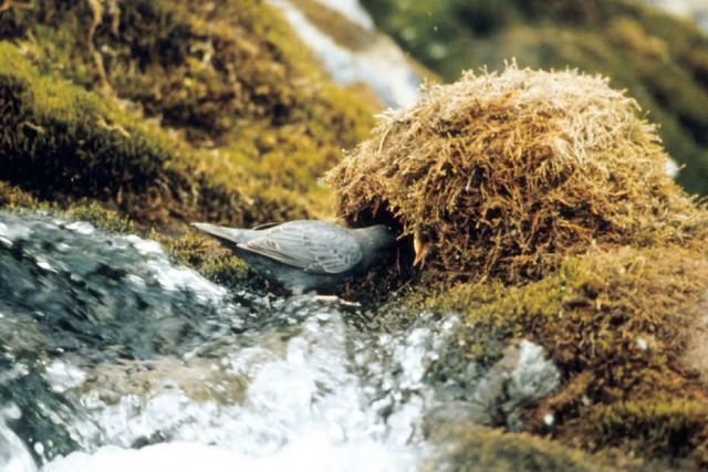 American Dipper at Nest Picture