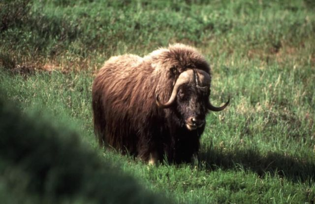 Musk Ox Picture