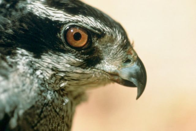Northern Goshawk, Adult Female Picture