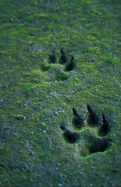 Wolf Tracks in Sand Picture